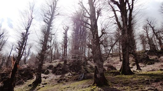 درخت های فندق